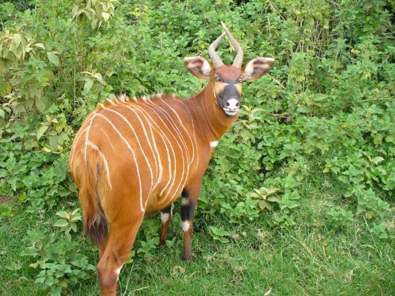 Fresh Bongo Animal Wallpaper HD Wallpaper