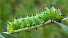 Cecropia Caterpillar Growth: Moth larvae photos & videos. journal