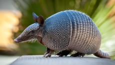 armadillo without shell