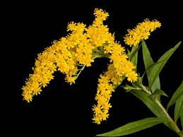 Goldenrod hd Wallpaper for download Wallpaper