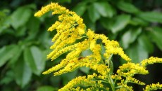 Goldenrod - Kentucky state flower | Jamesyn Discovers Kentucky