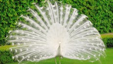 White Peacock HD Wallpapers