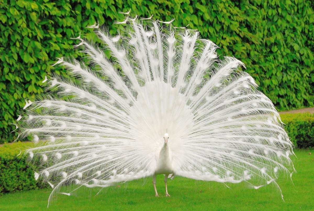 White Peacock HD Wallpaper Wallpaper