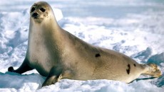 hd-seal-wallpaper-with-a-big-seal-walking-through-the-snow-hd-seals