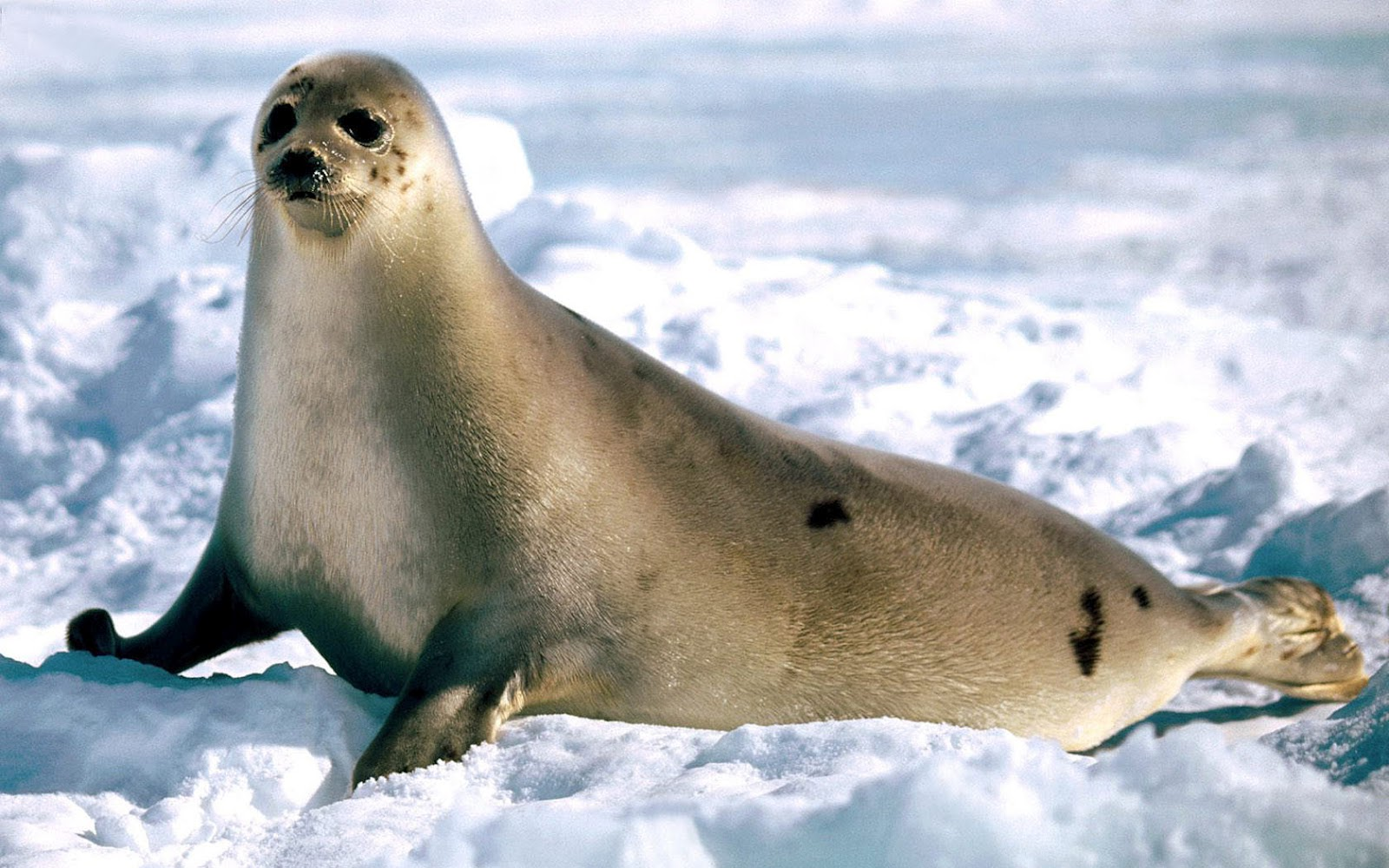 Seal  HD Animal Wallpaper Wallpaper