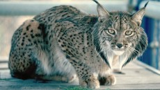 Iberian Lynx - International Society for Endangered Cats (ISEC) Canada