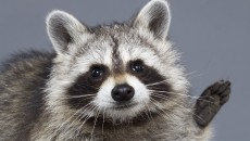 Badger Saves Woman From Raccoon She Thought Was Her Cat
