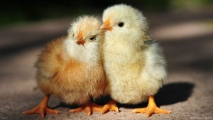 Baby Chickens HD Wallpaper Wallpaper