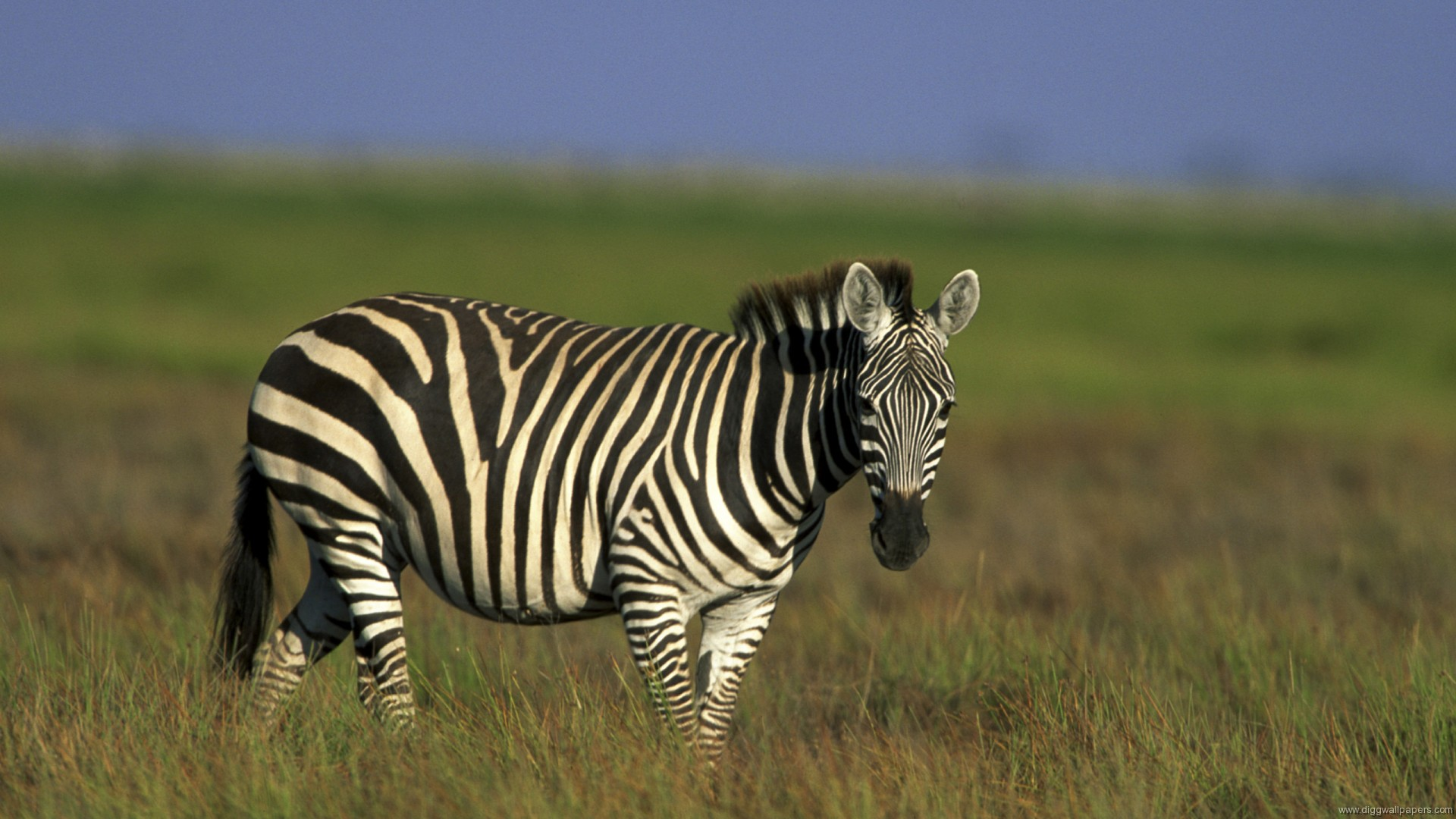 Zebra HD Wallpaper Wallpaper