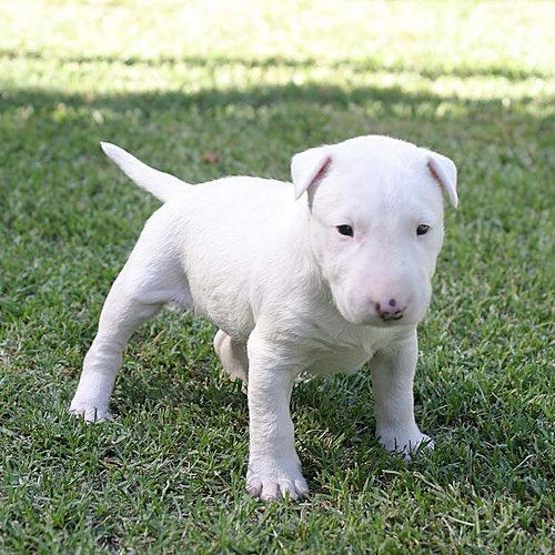 Bull terrier-cachorros-bull-terrier.jpg Wallpaper