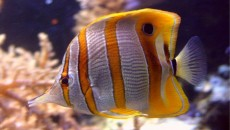 Butterfly Fish - Facts, Pictures, Diet, Breeding, Appearance, LifeSpan