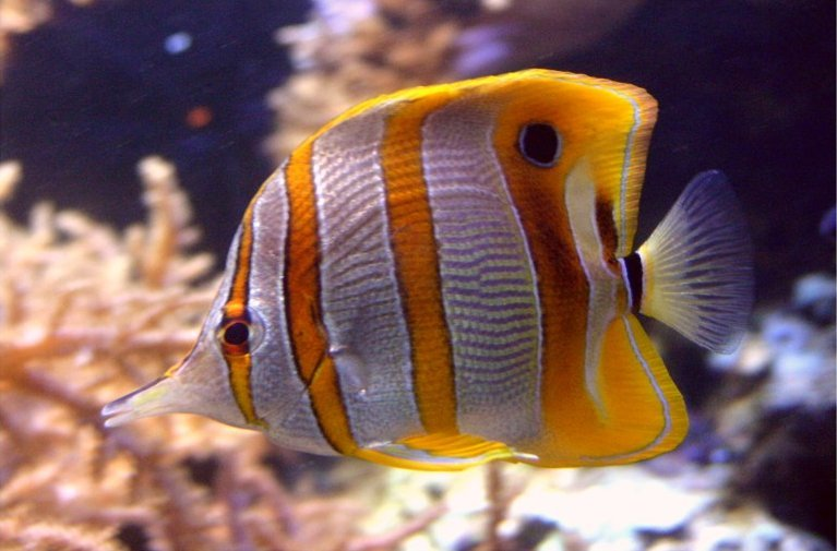 New Amazing Butterfly Fish hd wallpaper Wallpaper