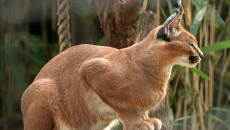Caracal | Wildlife Facts and New Photos | The Wildlife