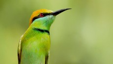 Green-Bee-Eater-Mohamed-Mothi-950x593.jpg