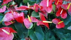 Anthurium Free Stock Photo HD - Public Domain Pictures