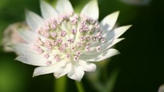 Astrantia: Growing Masterwort Plants In Your Garden
