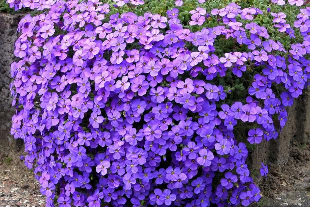 Fresh Aubrieta deltoidea HD Wallpapers Download Wallpaper