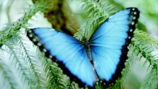 Butterfly picture and article all about the Blue Morpho butterfly