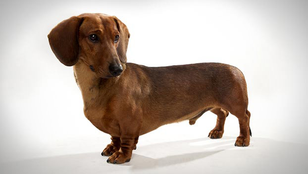 Dachshund Photo HD Wallpaper Wallpaper