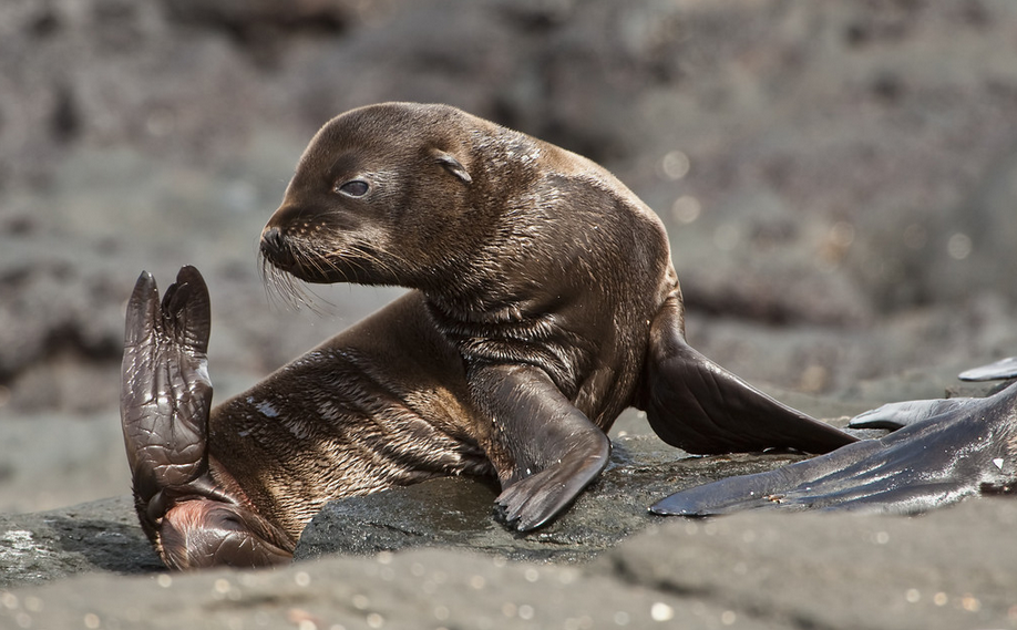 New Amazing Fur Seal hd wallpaper Wallpaper