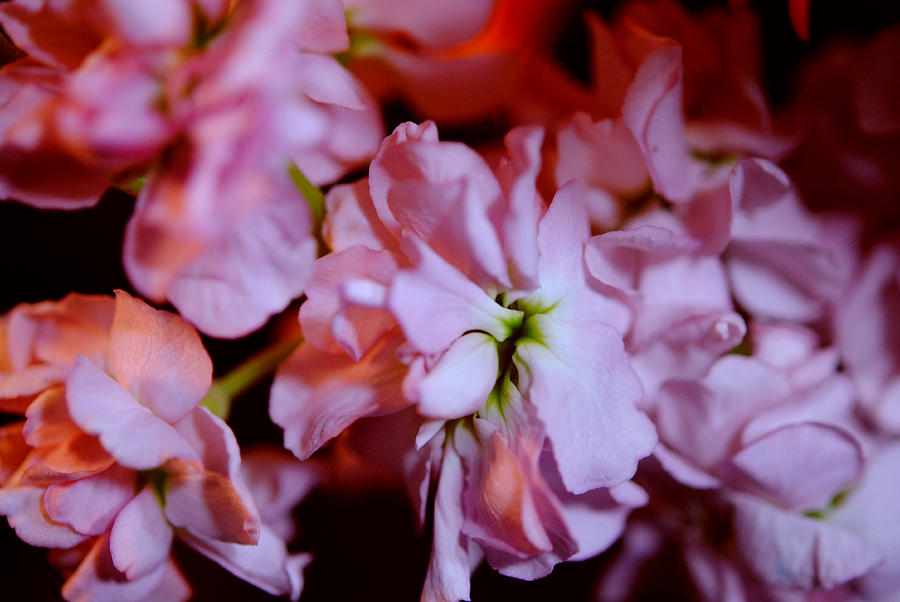 Fresh Pink  Matthiola Wallpaper HD Wallpaper