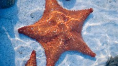 Sea Shells in The Bahamas - Starfish