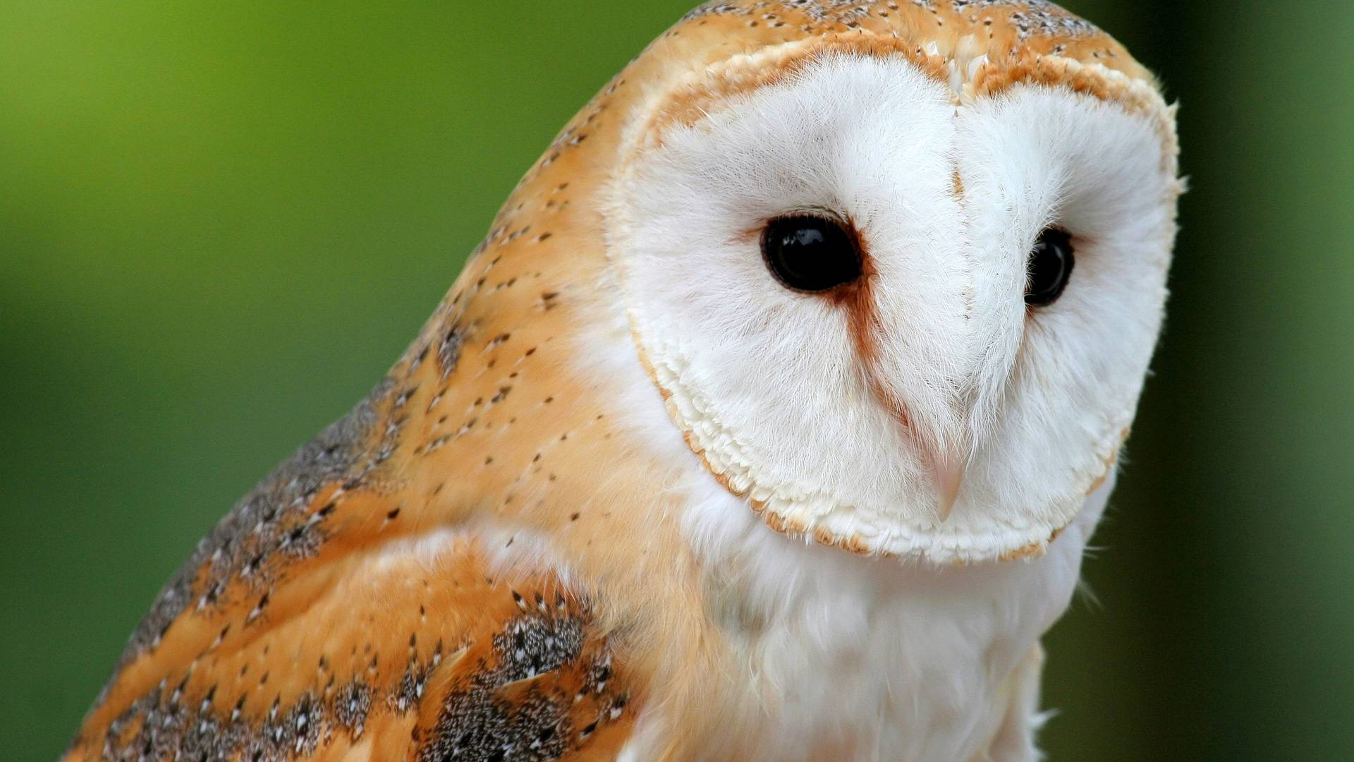 Barn Owl HD Wallpaper Download Wallpaper