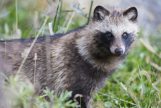 Raccoon Dog  Photo HD Wallpaper Wallpaper