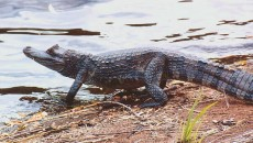 caiman species is the cuvier s dwarf caiman paleosuchus palpebrosus it