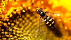 Widescreen HD Wallpaper > Animals > Fly wasp hd wallpaper | High