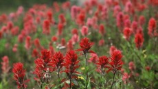 Indian Paintbrush (Pincel Indio
