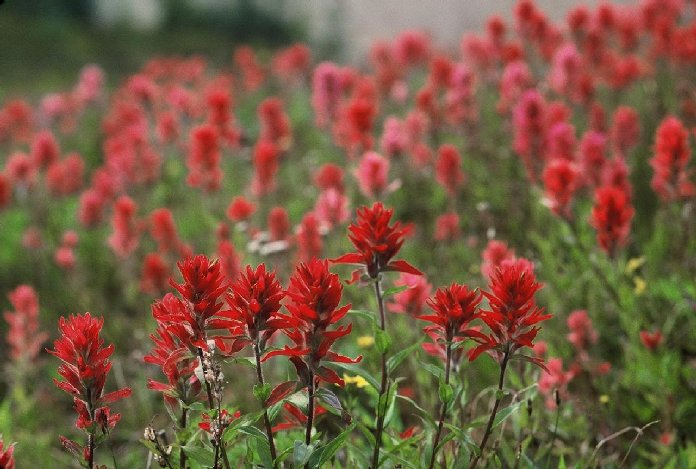 Indian paintbrush HD Desktop Wallpaper Wallpaper