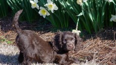 American Water Spaniel Information and Pictures - PetGuide