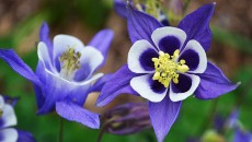 Common columbine (Aquilegia vulgaris) in the garden. Click for larger