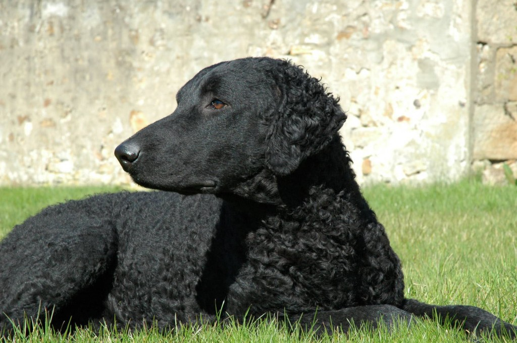 Curly Coated Retriever dog photo and wallpaper. Beautiful Curly Coated