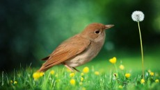 Nightingale Bird Facts, Pictures And Information
