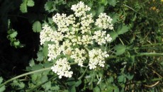 Wild-Carrot | The Herbarium