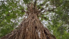 The great banyan tree | Best Photo Site