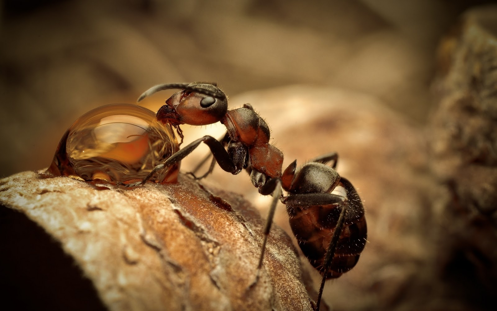 New Amazing Ant hd wallpaper Wallpaper