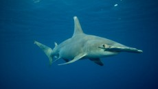 natural wild life hammerhead shark hammerhead sharks are appropriately