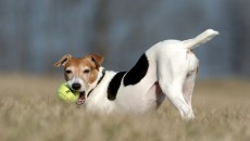 Jack Russell Terrier | The Life of Animals