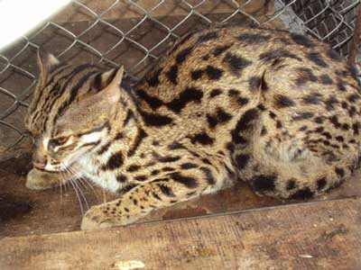 Nothing To Do With Arbroath: Rare fishing cat found in Vietnam