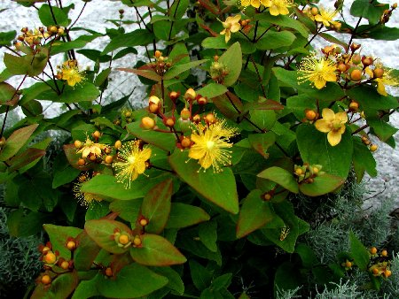New Hypericum HD Wallpaper Wallpaper