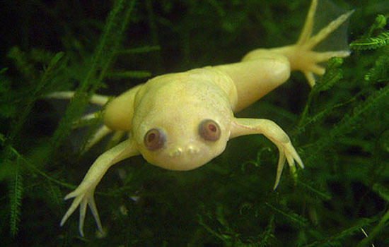 African Clawed Frog Full Photo HD Wallpaper Wallpaper