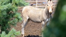 Zonkey or Zedonk: Zebra and Donkey Mix-Impressive Magazine