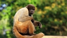 Woolly monkey | BobeyesBobeyes