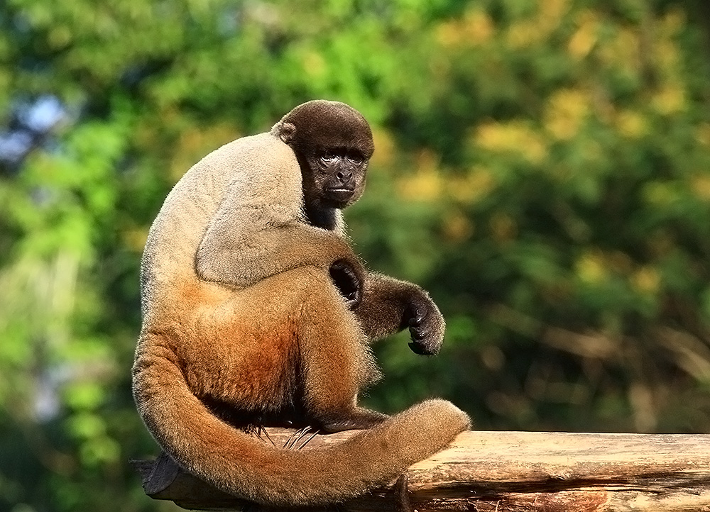 Woolly Monkey Photo HD Wallpaper Wallpaper