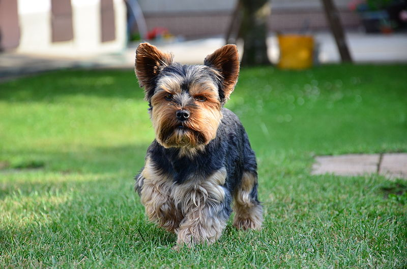 Yorkshire Terrier Photo HD Wallpaper Wallpaper