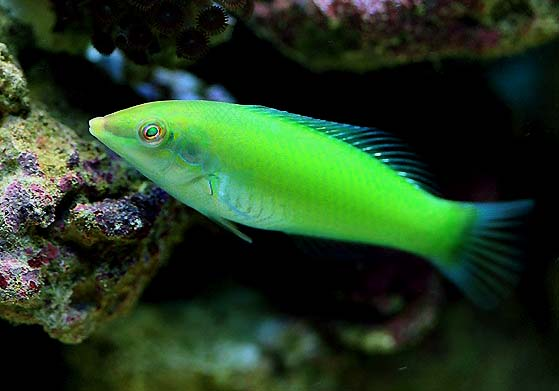 Wrasse HD Wallpaper Download Wallpaper