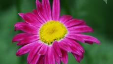 Painted Daisy by Paul Slebodnick - Painted Daisy Photograph - Painted